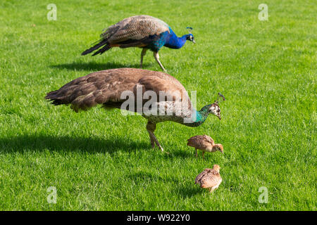Peacock, Peahen and their chicks on a lawn in an English country estate. - Stock Photo