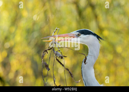 Grey Heron ( Ardea cinerea). Amsterdam, Netherlands. April 2017. There is a large wild heron colony in Artis Zoo, Amsterdam. - Stock Photo