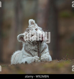 Royal Bengal Tiger / Koenigstiger ( Panthera tigris ), young cub, lying on the ground of a forest, playing with, biting on a wooden stick, looks cute - Stock Photo