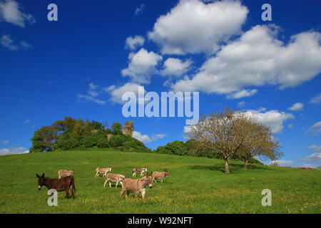 Donkeys are strolling peacefully on a carpet of green grass. The ruins of a building, probably very old, can be seen at the top of a small hill. - Stock Photo