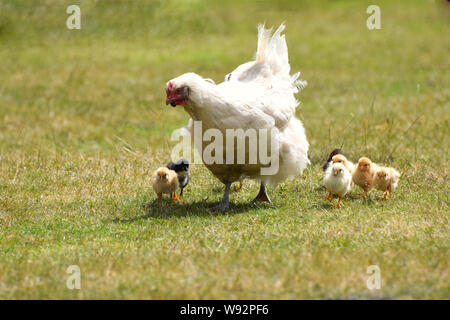 White mother hen with cute new born chicks - Stock Photo