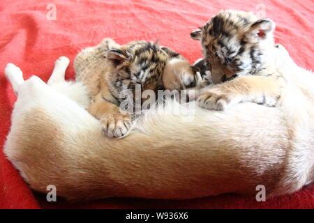 Mother dog Xiaowang breastfeeds her babies and two Siberian tiger cubs at Hangzhou Safari Park in Hangzhou city, east Chinas Zhejiang province, 22 Dec - Stock Photo