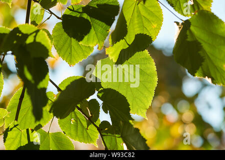 Leaves of a linden tree in summer in backlight - Stock Photo