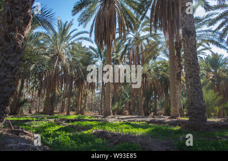 Palm plantation in Nefta oasis, Tunisia. The date palm trees growing in Sahara Desert in oasis - Stock Photo