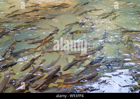 Mahseer Barb Fish in Namtok Phlio National Park waterfall, Chanthaburi , Thailand - Stock Photo