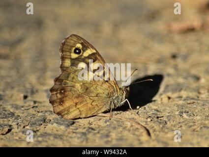 Speckled wood (Pararge aegeria) butterfly underside - Stock Photo
