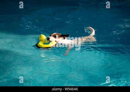 Playful dog swimming smoothly with yellow toy duck in mouth - Stock Photo