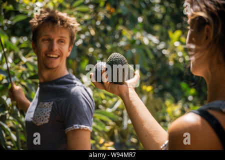 A young man and woman checking a handful of avocados they are picking from their trees - Stock Photo