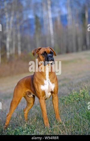 Beautiful German Boxer Dog standing in meadow, watching alert, portrait - Stock Photo