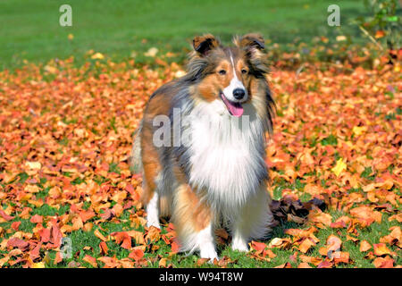 Beautiful groomed Shetland Sheepdog standing in lawn covered with autumn leaves, watching. - Stock Photo