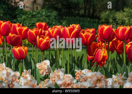Beautiful outdoor sunny close up view of  picturesque red, yellow and orange blooming tulips and white and yellow Daffodil flowers. - Stock Photo