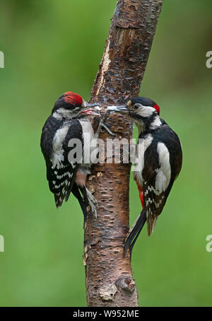 Male Great Spotted Woodpecker -Dendrocopos major feeds juvenile. - Stock Photo