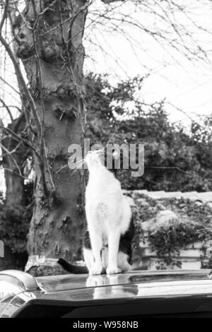 Black and white cat on a car top looking up to the branches of a tree in Sozopol, Bulgarian Black Sea Coast - Stock Photo