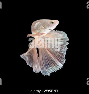 Close up art movement of Betta fish or Siamese fighting fish isolated on black background - Stock Photo