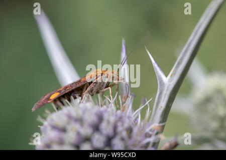 Mint Moth (Pyrausta aurata) on Eryngium variifolium - Stock Photo
