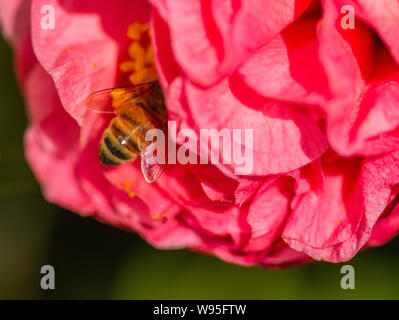 Honey bee gathering pollen from camellia flower - Stock Photo