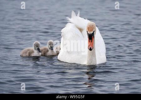 One swan (cygnus) with her three swan chicks swimming on the lake Federsee in Bad Buchau / Germany - Stock Photo