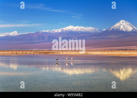 Flamingos at Chaxa Lagoon, Atakama Salar, Chile : Unusual  Andean landscape of salt formations and salt lake with volcanoes seen in the distance - Stock Photo