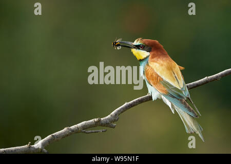 European bee-eater (Merops apiaster) perched on a tree branch in nature and eats a bee in Gerolsheim, Germany - Stock Photo