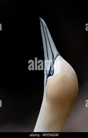 Gannet head close up (Morus) Troup Head - Stock Photo