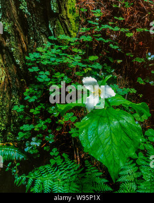 Trillium, Trillium ovatum, Redwood Trunk, Prairier Creek Redwood National and State Park, California - Stock Photo
