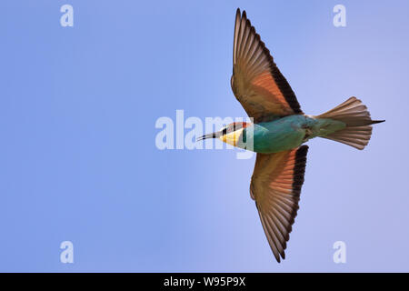 One colorful bee-eater bird flying in the blue sky - Stock Photo