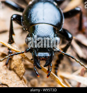 Dark Beetle Insect Crawling on Ground - Stock Photo