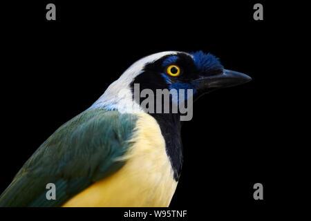 side portrait of an Inca Jay - Cyanocorax yncas - Stock Photo