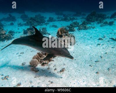 Common Bottlenose Dolphin (Tursiops truncatus) - Stock Photo