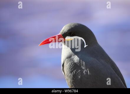 One Inca tern (Larosterna inca) close up side portrait and blue sky background - Stock Photo