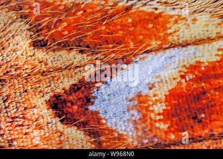 Butterfly scales, Small Pearl-bordered fritillary, Baloria selene, rear wing, high macro view - Stock Photo