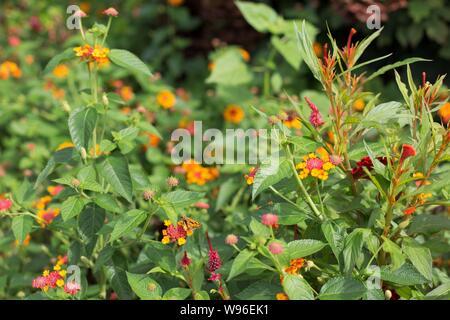 Lantana Camara 'Lucky Red' flowers. - Stock Photo