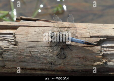 Adult male black tailed skimmer (Orthetrum cancellatum) resting on a fallen branch - Stock Photo