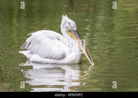 Pelecanus crispus (Dalmatian pelican) in captivity - Stock Photo