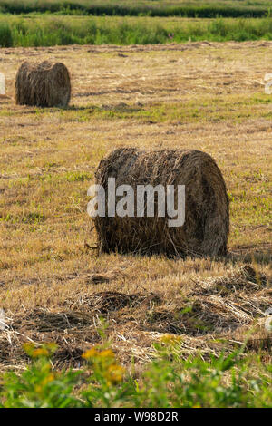 View of golden rolls of hay on mowed field, rural landscape on sunny day, dry weather in which agricultural work is good. - Stock Photo