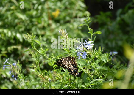 A wildlife picture of an adult Swallowtail butterfly feeding on nectar from flowers. A Black Swallowtail butterfly wildlife photograph. - Stock Photo