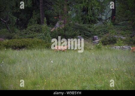 Reh, Rehbock, Wald, Lichtung, Gras, Wild, Geweih, Rotwild, Capreolus capreolus, Hirsch, schüchtern, scheu, still, Bock, Fell, aufpassen, beobachten, F - Stock Photo