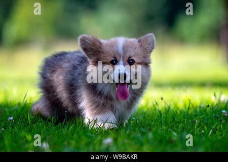 Red dog welsh corgi pembroke  puppy running in the green grass.