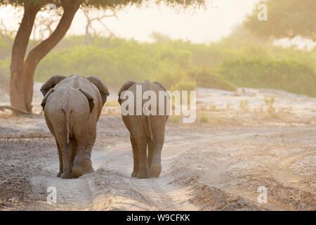 Three African Elephant (Loxodonta africana), desert adapted elephants walking in riverbed of desert, seen from behind, Hoanib desert, Kaokoland, Namib - Stock Photo