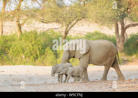 African Elephant (Loxodonta africana), desert-adapted elephant mother with two playing calfs, walking in dry riverbed, Hoanib desert, Kaokoland, Namib - Stock Photo