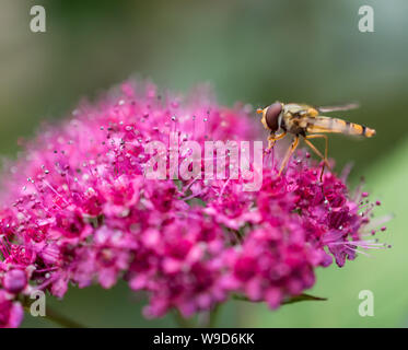 Close-up of marmalade hoverfly (female, Syrphidae - episyrphus balteatus) on the pink flowers of the Japanese spiraea (Spiraea japonica) - Stock Photo