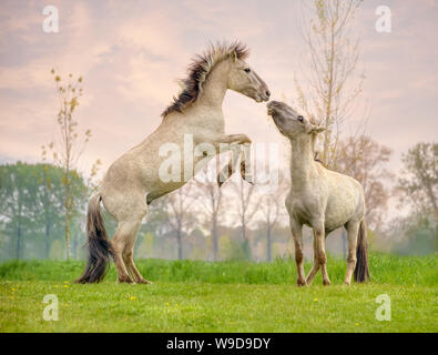 Konik stallions rearing and fighting, they are part of a free-range herd of the Polish primitive horse breed live in nature reserve De Rug Netherlands - Stock Photo