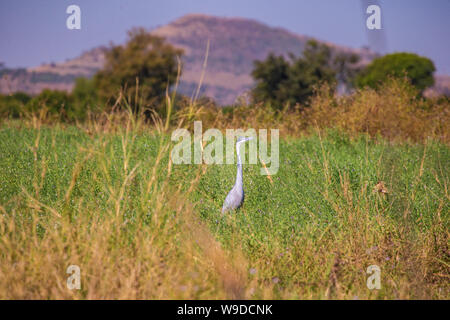 Black-headed heron (Ardea melanocephala) standing in a green field, Ethiopia - Stock Photo