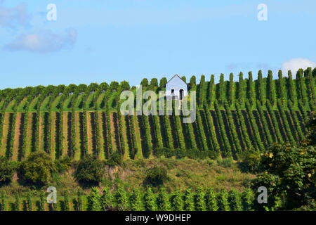 Auggen, Germany, 20 August 2017: Vineyard in the sun with blue sky - Stock Photo