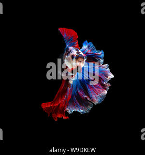 Close up art movement of Betta fish or Siamese fighting fish isolated on black background.Fine art design concept. - Stock Photo