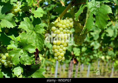 Auggen, Germany, 20 August 2017: Grapes in the sun