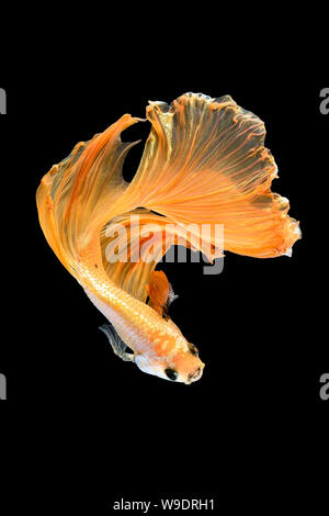 Close up art movement of Betta fish,Siamese fighting fish isolated on black background.Fine art design concept. - Stock Photo