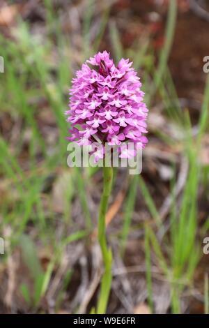 Portugal plant species - Anacamptis pyramidalis (pyramidal orchid) in Coimbra region. - Stock Photo