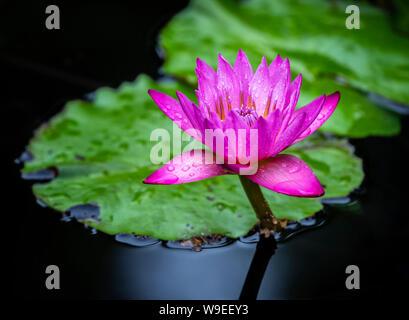 Water Lily, Manitoba, Canada. - Stock Photo