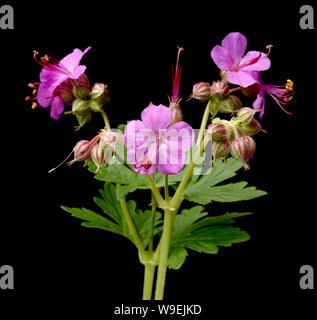 Balkan-Storchschnabel, Geranium macrorrhizum ist ein Storchschnabelgewaechs mit schoenen lilarosa Blueten. Sie ist eine Blattschmuckstaude  und wird a - Stock Photo
